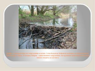 Бобры – рекордсмены по сооружению плотин. Сама большая бобровая плотина соста
