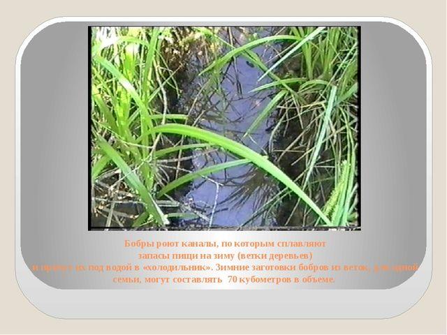 Бобры роют каналы, по которым сплавляют запасы пищи на зиму (ветки деревьев)...