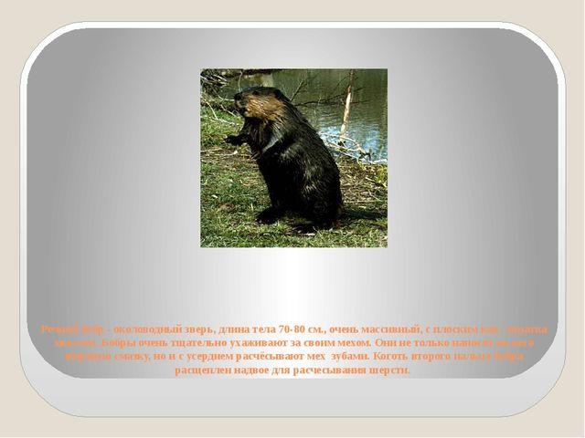 Речной бобр - околоводный зверь, длина тела 70-80 см., очень массивный, с пло...