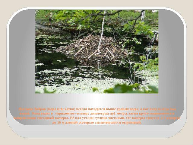 Жилище бобров (нора или хатка) всегда находится выше уровня воды, а вот вход...