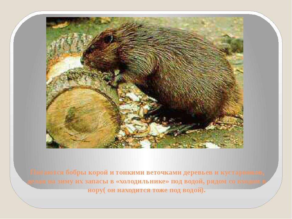 Питаются бобры корой и тонкими веточками деревьев и кустарников, делая на зи...