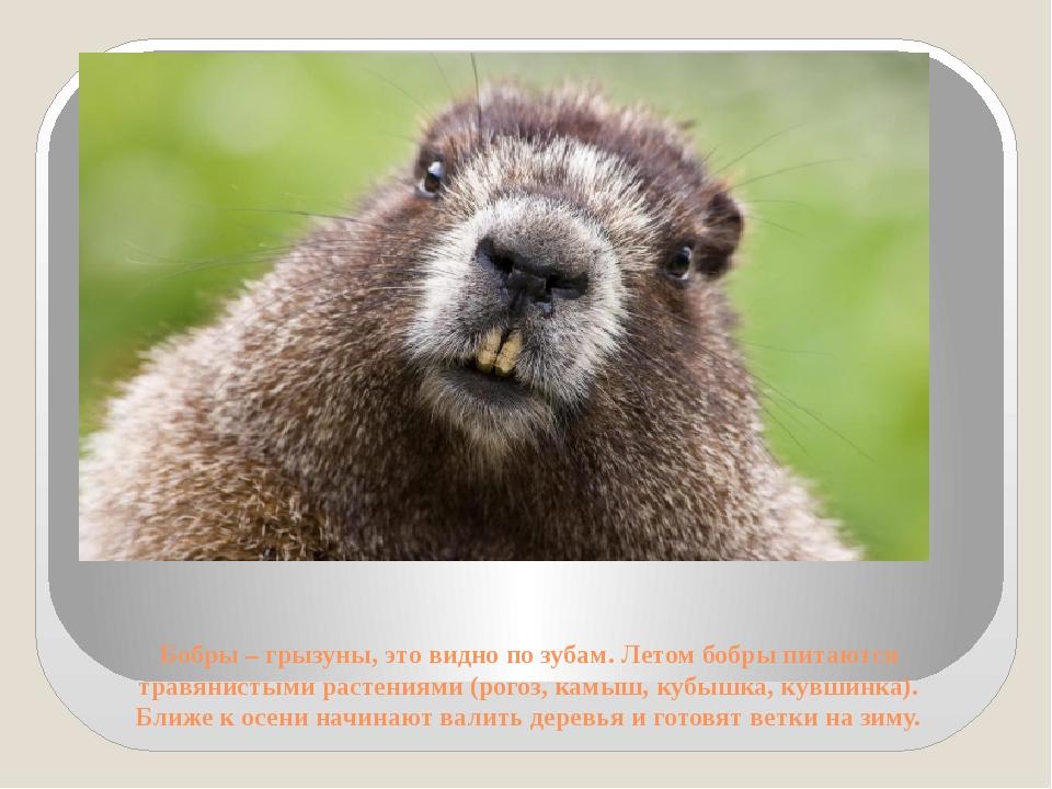 Бобры – грызуны, это видно по зубам. Летом бобры питаются травянистыми растен...