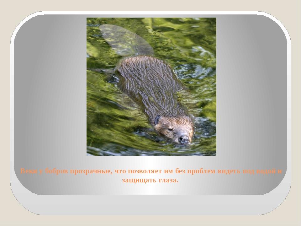 Веки у бобров прозрачные, что позволяет им без проблем видеть под водой и защ...