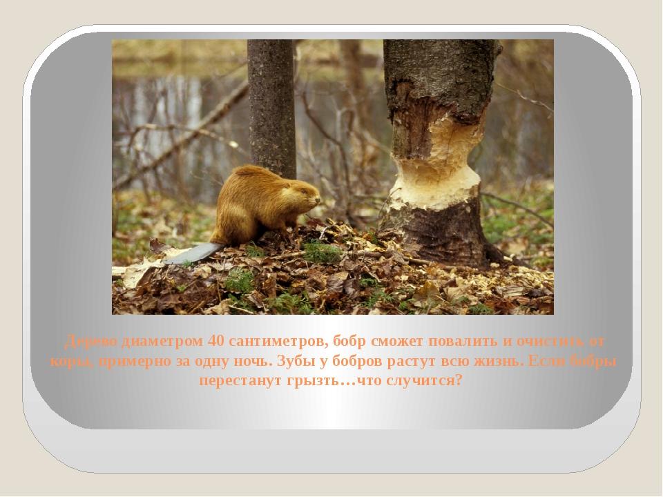 Дерево диаметром 40 сантиметров, бобр сможет повалить и очистить от коры, пр...