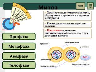 Мейоз Первое деление (особенности) ИНТЕРФАЗА Профаза I Метафаза I Анафаза I Т