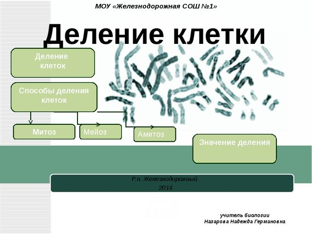 Интерфаза Фаза синтеза ( 1G от англ.gar –интервал 2п 2с) 1.Образование рибосо...