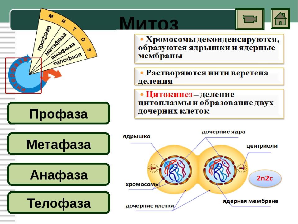 Мейоз Первое деление (особенности) ИНТЕРФАЗА Профаза I Метафаза I Анафаза I Т...