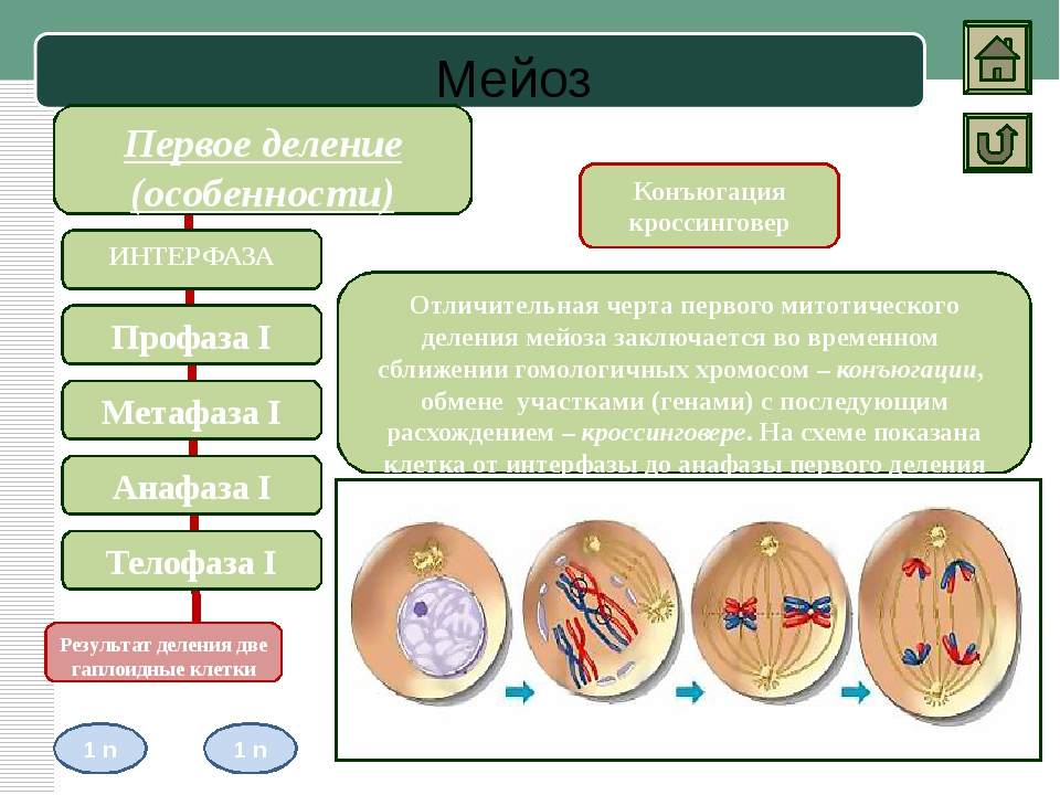 Биологическое значение Митоз Амитоз Мейоз Строгое распределение хромосом меж...