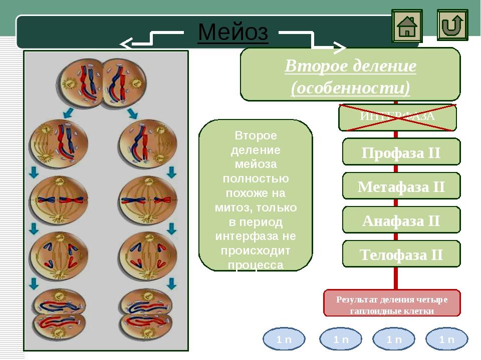 Амитоз Амитоз- прямое деление ядра, то есть деление клеточного ядра без обра...
