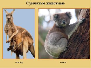 Сумчатые животные кенгуру коала