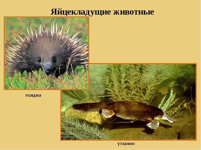 Яйцекладущие животные ехидна утконос