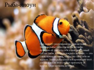 Рыба-клоун Они живут с различными видами актиний. Вначале рыба слегка касаетс
