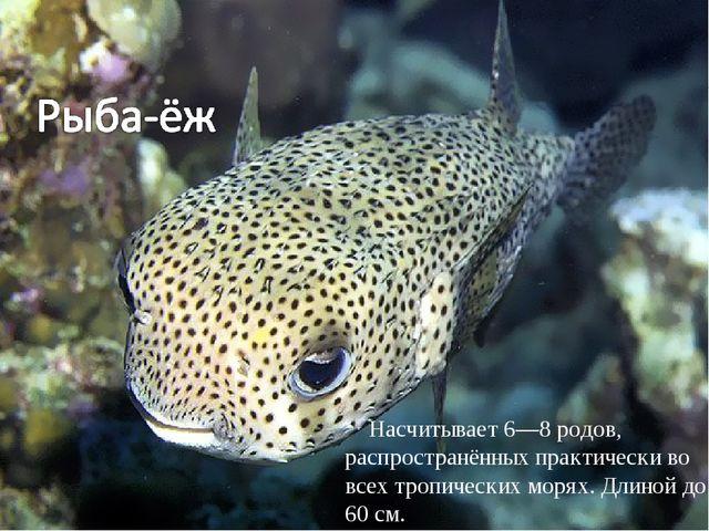 Насчитывает 6—8 родов, распространённых практически во всех тропических моря...