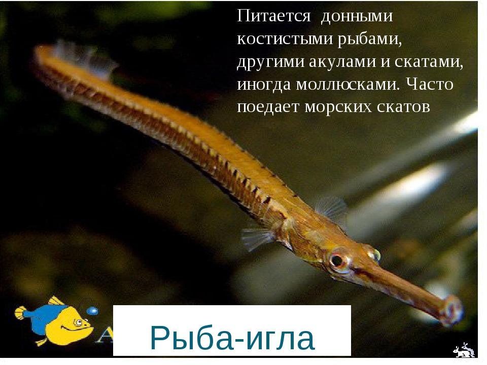 Рыба-игла Питается донными костистыми рыбами, другими акулами и скатами, иног...