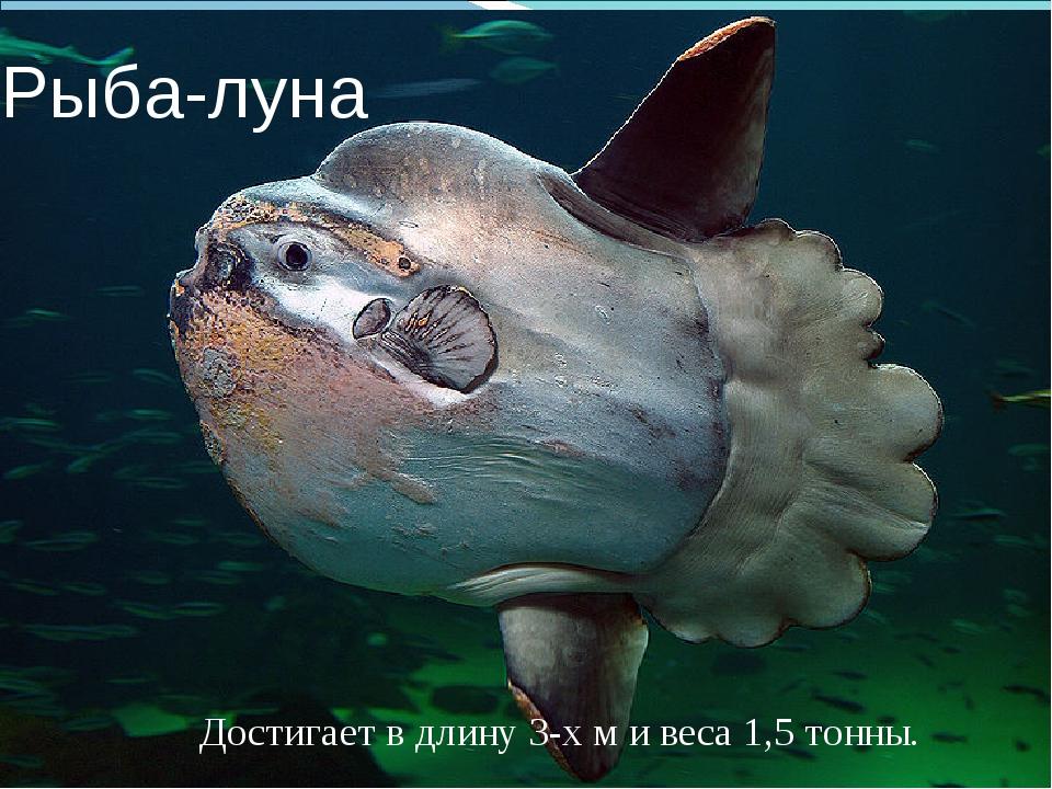 Рыба-луна Достигает в длину 3-х м и веса 1,5 тонны.