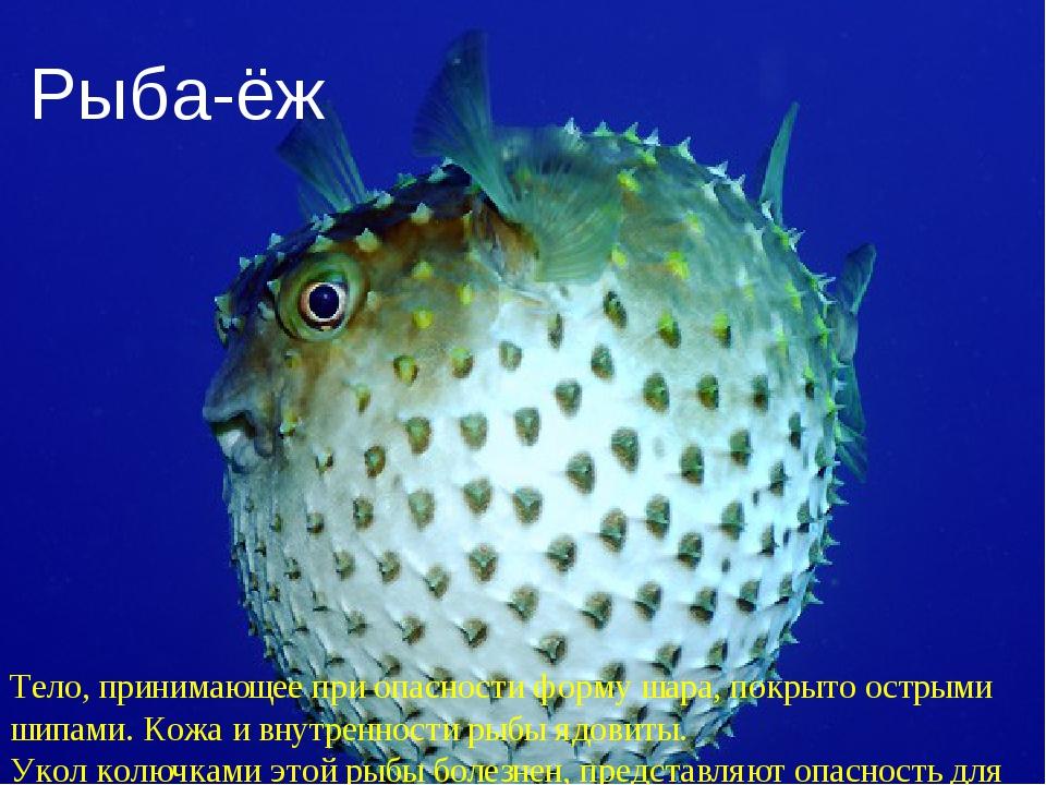 Рыба-ёж Тело, принимающее при опасности форму шара, покрыто острыми шипами. К...