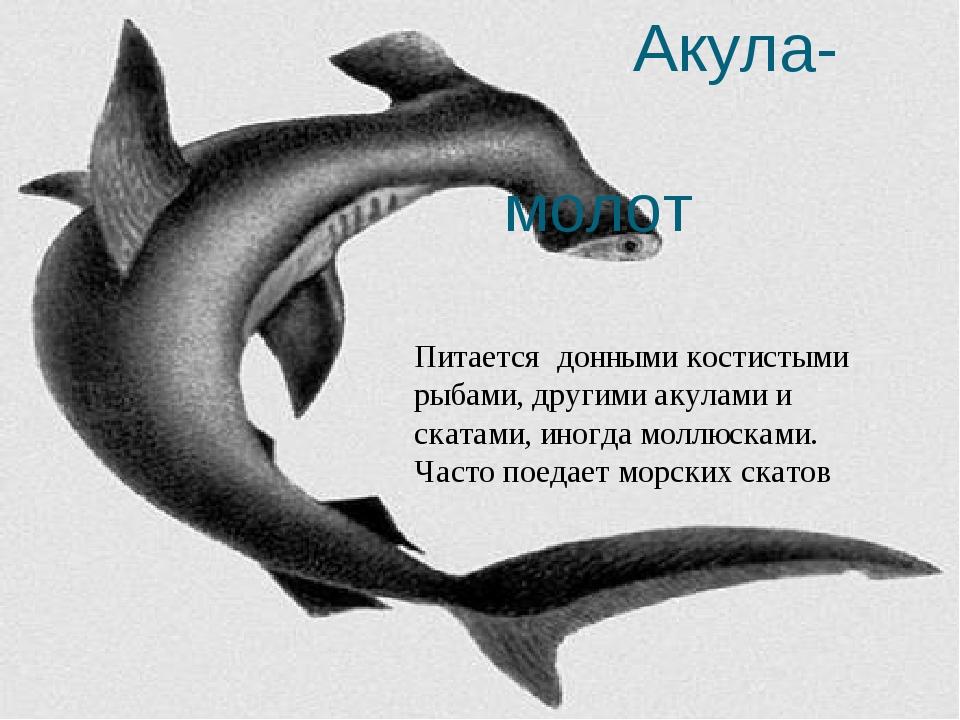Акула- молот Питается донными костистыми рыбами, другими акулами и скатами,...