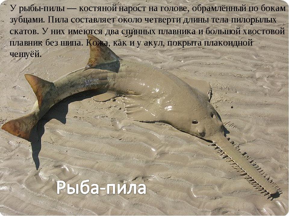 У рыбы-пилы — костяной нарост на голове, обрамлённый по бокам зубцами. Пила с...