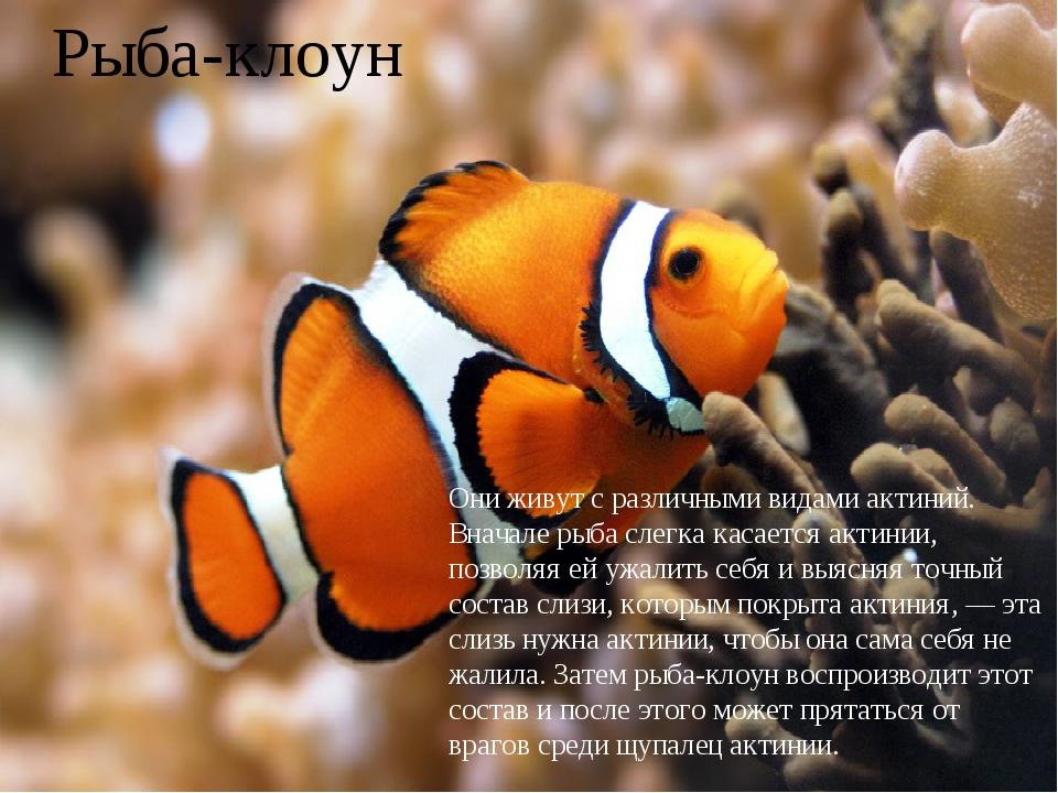 Рыба-клоун Они живут с различными видами актиний. Вначале рыба слегка касаетс...