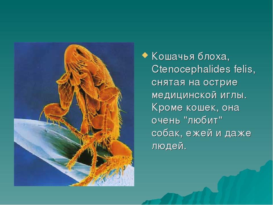 Кошачья блоха, Ctenocephalides felis, снятая на острие медицинской иглы. Кром...