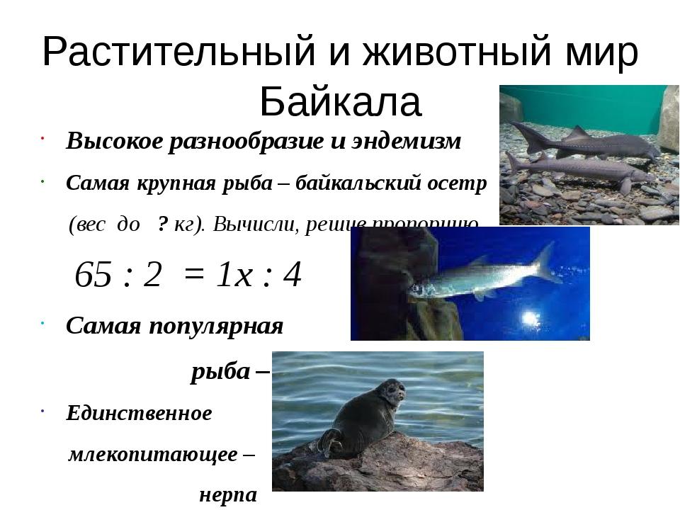 Ценное дерево Байкальской тайги – кедр. Решив пропорцию, вы узнаете возраст...