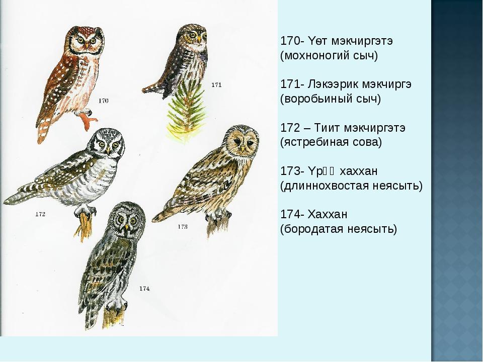 170- Yѳт мэкчиргэтэ (мохноногий сыч) 171- Лэкээрик мэкчиргэ (воробьиный сыч)...