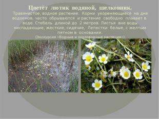 Цветёт лютик водяной, шелковник. Травянистое, водное растение. Корни укорен