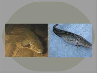 Налим. Крупные рыбы могут достигать 1 м и массы 10 -20 кг. Обитает в чистых