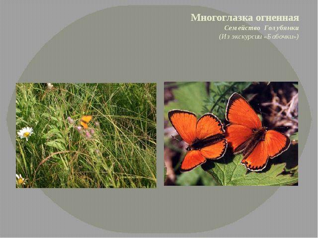 Многоглазка огненная Семейство Голубянки (Из экскурсии «Бабочки»)