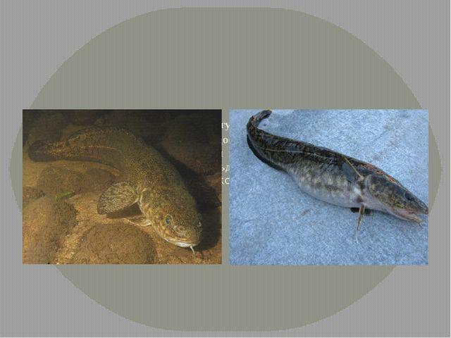 Налим. Крупные рыбы могут достигать 1 м и массы 10 -20 кг. Обитает в чистых...