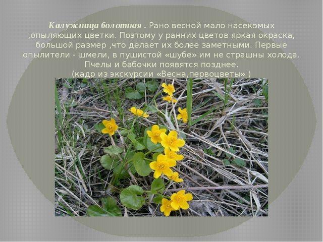 Калужница болотная . Рано весной мало насекомых ,опыляющих цветки. Поэтому у...
