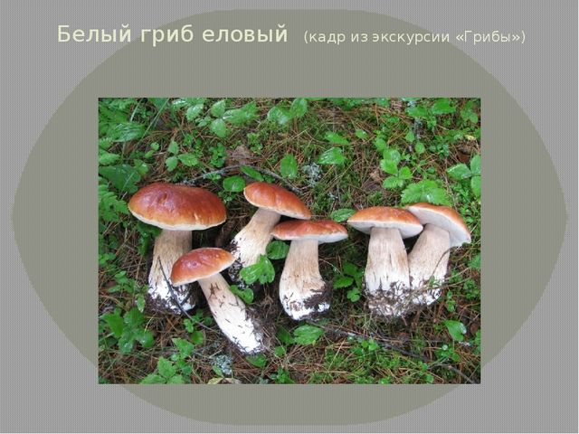 Белый гриб еловый (кадр из экскурсии «Грибы»)