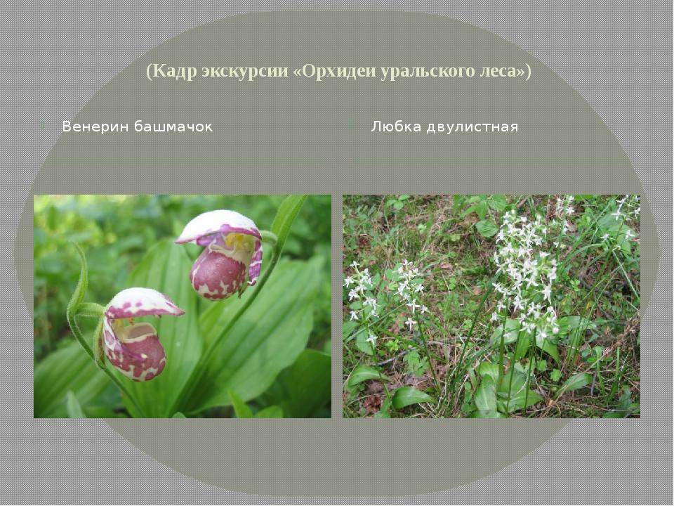 (Кадр экскурсии «Орхидеи уральского леса») Венерин башмачок Любка двулистная