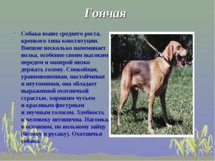 Гончая Собака выше среднего роста, крепкого типа конституции. Внешне нескольк