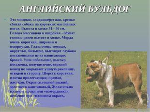 АНГЛИЙСКИЙ БУЛЬДОГ Это мощная, гладкошерстная, крепко сбитая собака на коротк