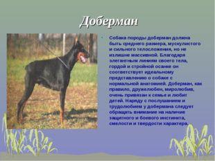 Доберман Собака породы доберман должна быть среднего размера, мускулистого и