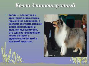 Колли длинношерстный Колли — элегантная и аристократичная собака, гармонично