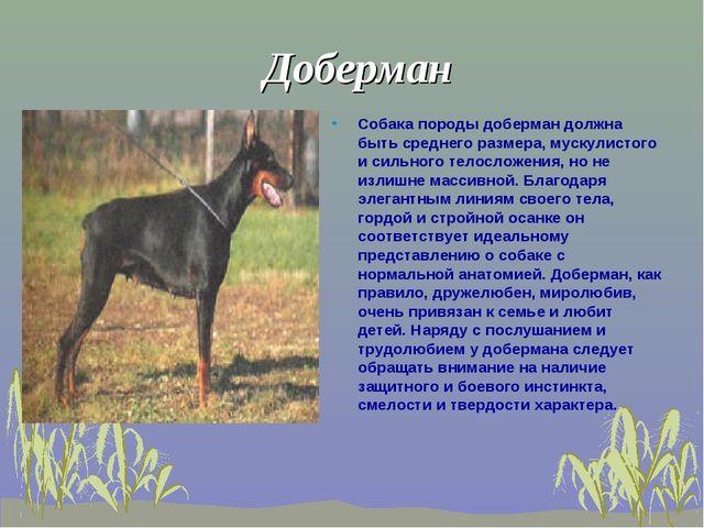 Доберман Собака породы доберман должна быть среднего размера, мускулистого и...