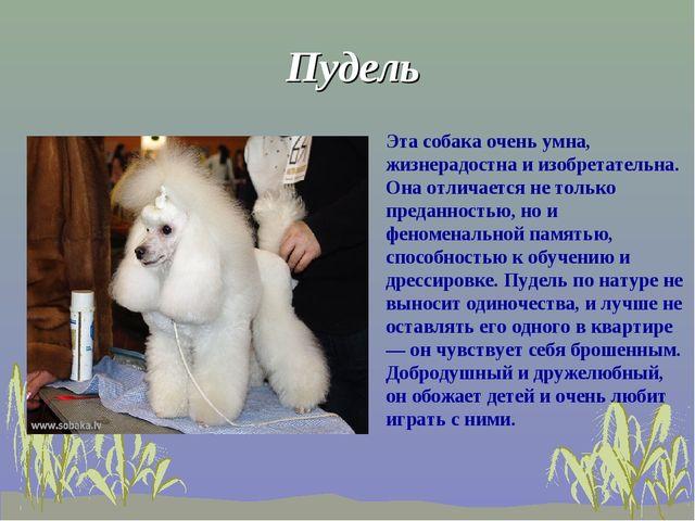 Пудель Эта собака очень умна, жизнерадостна и изобретательна. Она отличается...