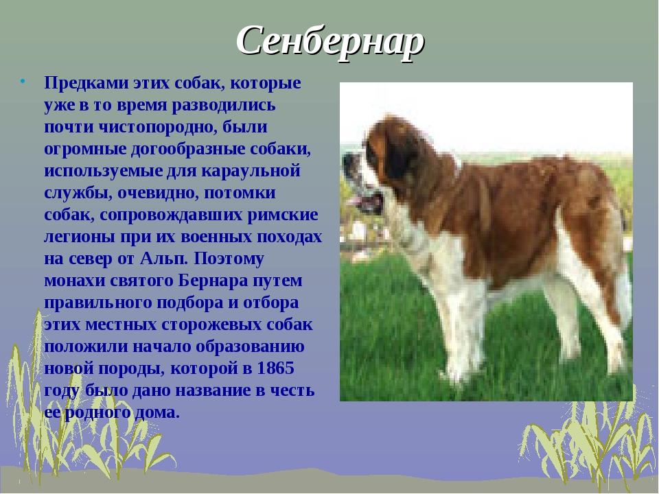 Сенбернар Предками этих собак, которые уже в то время разводились почти чисто...