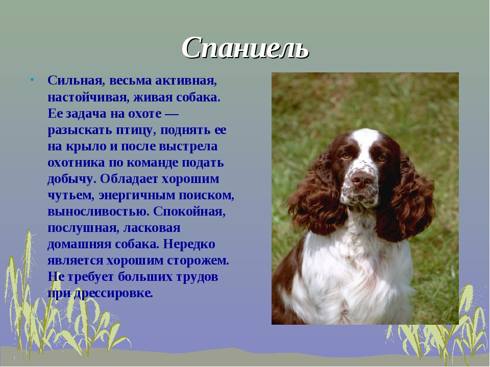 Спаниель  Сильная, весьма активная, настойчивая, живая собака. Ее задача на...