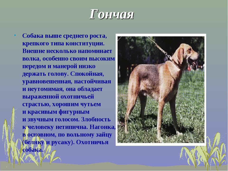Гончая Собака выше среднего роста, крепкого типа конституции. Внешне нескольк...