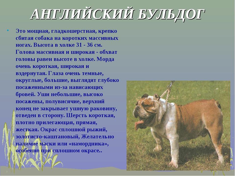 АНГЛИЙСКИЙ БУЛЬДОГ Это мощная, гладкошерстная, крепко сбитая собака на коротк...