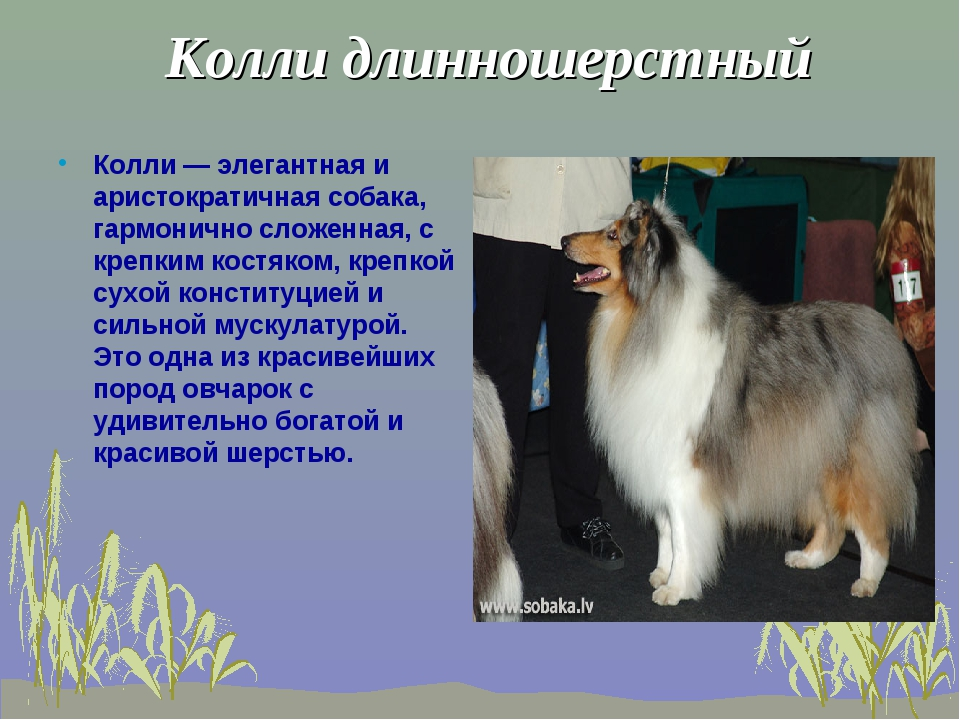 Колли длинношерстный Колли — элегантная и аристократичная собака, гармонично...