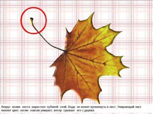Вокруг ножки листа нарастает лубяной слой. Вода не может проникнуть в лист. У