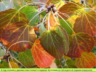 В саду осеннем у дорожки осина хлопает в ладошки. Вот почему на той неделе её