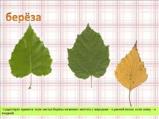 Существует примета: если листья берёзы начинают желтеть с верхушки – к ранне
