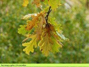 Листопад у дуба с 20 сентября.