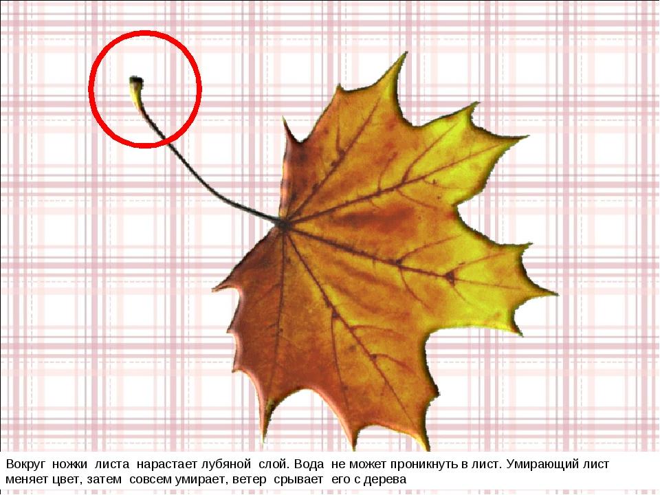 Вокруг ножки листа нарастает лубяной слой. Вода не может проникнуть в лист. У...