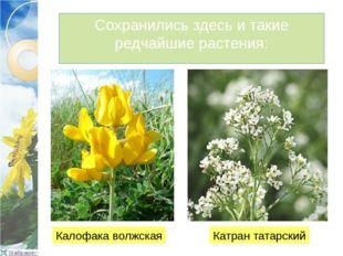Сохранились здесь и такие редчайшие растения: Калофака волжская Катран татарс